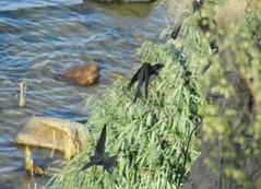 Uferschwalben, NGID604637547 (naturgucker.de) Tags: deutschland mecklenburgvorpommern ripariariparia rgen uferschwalbe naturguckerde carmindreisbach ngid604637547