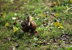 km_ 25 08 039 (grandeallegro) Tags: duck august part anasplatyrhynchos loom lind tartu emajõgi 2011 sinikaelpart