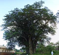The Big Baobab in Malindi