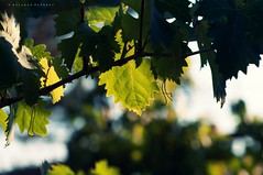 Green Rhapsody (puthoOr photOgraphy) Tags: lebanon leaves leaf nikon crossprocess liban lightroom d90 adobelightroom nikond90 lubanan lightroom3 puthoor gettyimagehq