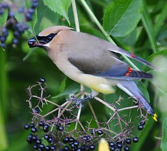 Cedar Waxwing 2 (ThomasD300) Tags: birds nikon lasalle birdwatcher 70200mm d300 thomasd300 august27th2011