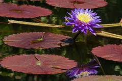 Emerge (dbushue) Tags: summer flower sunshine reflections garden pond waterlily stlouis surface missouri bloom change bud lilypad emerge rooted missouribotanicalgarden 2011 coth supershot naturesgarden damniwishidtakenthat coth5 photocontesttnc11 dailynaturetnc11