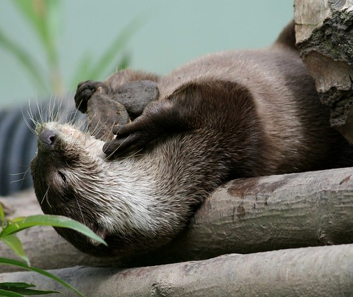 closeup of a river otter lying on its back over some logs. It is holding two dark flat small stones. Its eyes are near-closed, like a contented cat.