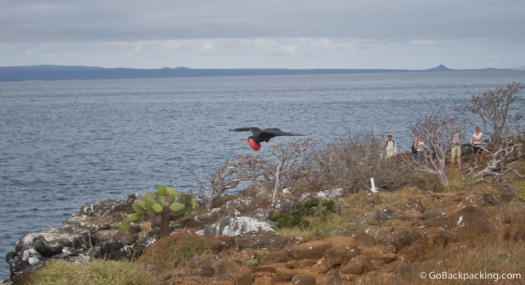 A Male Frigate Bird in flight on North Seymour Island