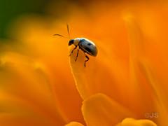 My Little Friend 01 (Jeremy G. Soper) Tags: orange flower macro closeup bug 50mm olympus jeremy om e500 soper