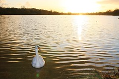 IMG_6037 (christophemurphy) Tags: sunset lake swan boating rickmansworth aquadrome