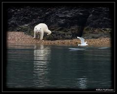 Kung Fu Panda (Hkon Kjllmoen, Norway) Tags: norway svalbard polarbear icebear longyearbyen supershot abigfave flickrdiamond mygearandme hkonkjllmoen wwwkjollmoencom ruby5