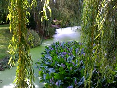 The Water Garden - Pickerel Weed (Pontederia cordata) (tedesco57 -back from cruising Adriatic and Greece) Tags: uk water club garden weed willow berkshire weeping cookham the salix pickerel pontederia babylonica cordata odney