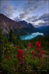 Peyto Blue (jason edlund) Tags: lake canada rockies canadian glacier alberta banff wildflowers np peyto canadianrockies jasonedlund