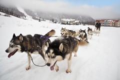 Dog Sledding, Corner Brook (Newfoundland and Labrador Tourism) Tags: tourism nature newfoundland labrador western newfoundlandandlabrador peopleandculture newfoundlandandlabradortourism