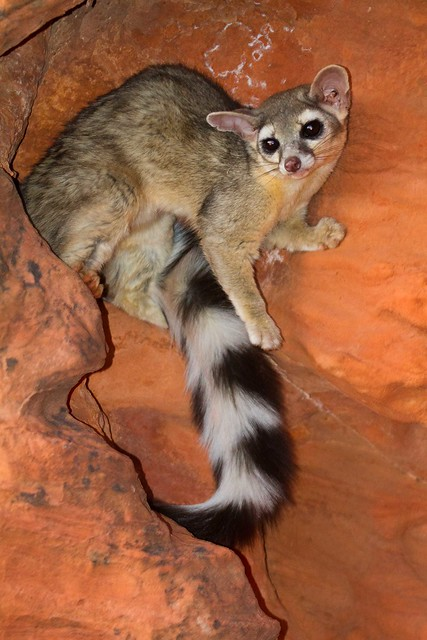 Ring-tailed cat-8.JPG