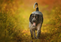 Steel - bluetick coonhound (Zach Boumeester) Tags: blue nikon hound 300mm coon tick nikkor f28 coonhound afi bluetick d300s efid