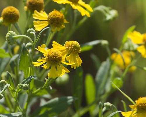 08312011JGW-EmiquonClarkRoad-SneezeWeedWildflowers_MG_1893