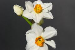 """DSC_1071 (aciamax) Tags: bulb daffodil 1930 jonquill """"thenetherlands"""" """"tazettadaffodil"""" """"narcissus"""" """"8wo"""" """"geranium"""" """"jbvanderschoot"""""""