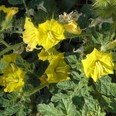 wildflowers on the bluebonnet trail