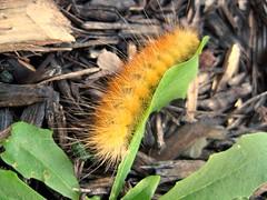 Yellow Bear Caterpillar (DianesDigitals) Tags: moth moths caterpillars spilosomavirginica virginiantigermoth yellowbearcaterpillar dianesdigitals nationalmothweek