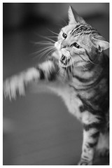 Cat punch (Delytayan Third) Tags: bw cat       amaricanshorthair