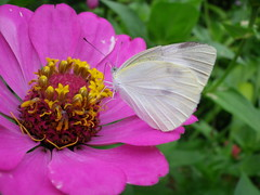 Small Creatures in the Garden #130 (tt64jp) Tags: flower nature japan butterfly bug insect japanese   zinnia   insekt insetto insecte gunma  insecto kiryu  pierisrapae    smallwhite