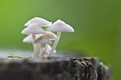 ... Mushroom | filoboletus sp.  ... (liewwk - www.liewwkphoto.com) Tags: mushroom canon fungi sp fungus 蘑菇 5dmark2 filoboletus canon5dm2 liewwk httpliewwkmacroblogspotcom wwwliewwkphotocom 刘永强 notplants wwwliewwkphotocomblog filoboletussp