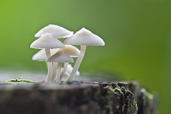 ... Mushroom | filoboletus sp.  ... (liewwk - www.liewwkphoto.com) Tags: mushroom canon fungi sp fungus  5dmark2 filoboletus canon5dm2 liewwk httpliewwkmacroblogspotcom wwwliewwkphotocom  notplants wwwliewwkphotocomblog filoboletussp