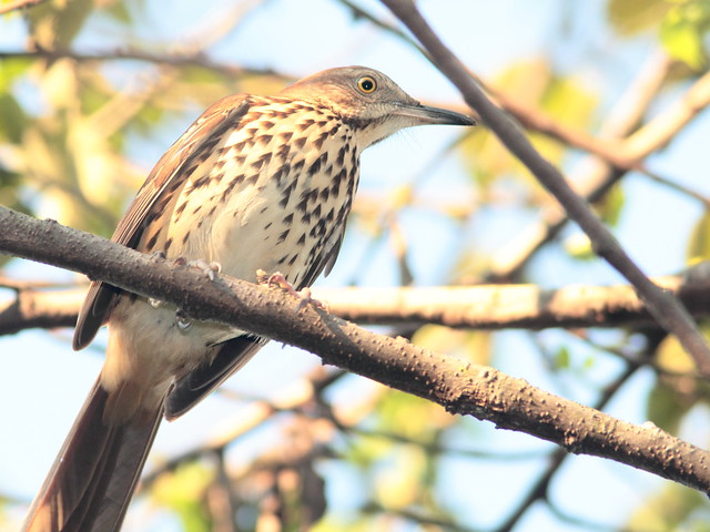 Brown Thrasher 20110914