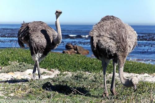 Beach Ostriches!