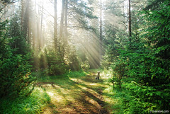precious morning light (.:: Maya ::.) Tags: morning light dog sun mountain green nature forest woods magic retriever beam rays moment golfen rodopi   rhodope  beglika       mayaeye mayakarkalicheva   wwwmayaeyecom