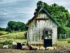 Sleeping on the job (MomoFotografi) Tags: canada animal digital rural sheep quebec farm pigeon dramatic olympus québec pastoral zuiko tone f28 hdr ferme mouton laurentides e5 zd blainville 1454mm dramatictone ringexcellence highqualityanimals