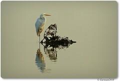 Great Egret (Gurusan2010) Tags: greategret ardeaalba tamilnadubirds