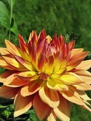 (tvordj) Tags: flowers red orange macro yellow halifax dahlias publicgardens beautifulworldchallenges ultrahero topmedalwinner herowinner