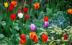 Deines Gottes freue dich (amras_de) Tags: summer christ sommer jesus tulip christianity hymn tulipa christus tulipe tulpen chant tulpe tulp tulipán praisethelord glaube gebet lale glauben tulppaanit kirchenlied cántico gotteslob tulpansläktet innosacro bittgesänge danklied tulipanslekta