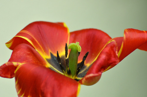Tulipa by D'clic photo