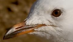 Seagull (Bec .) Tags: macro eye closeup bokeh seagull beak thechallengefactory