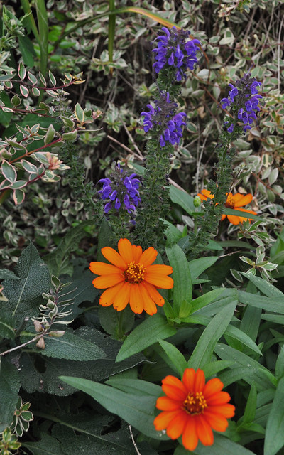 Salvia × sylvestris 'May Night' and Zinnia x 'Profusion Fire'