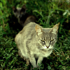 O Gato da Maninha (m@tr) Tags: barcelona espaa cat canon gato catalunya ripollet canonef50mmf18ii canoneos400ddigital villaderipollet mtr marcovianna