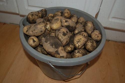 first potatoes Aug 11