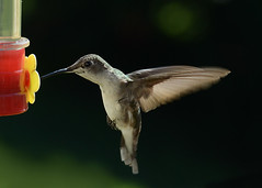 Humming, hovering, she sips sweet nectar. (shutterbugbekkie) Tags: birds female hummingbird nectar hovering sbfmasterpiece