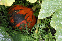 lakota winter squash