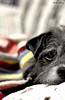 Xodó (Arthur Petry) Tags: dog cute arthur cachorro srd fotografias petry