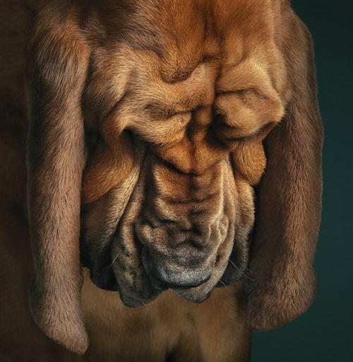 bloodhound face