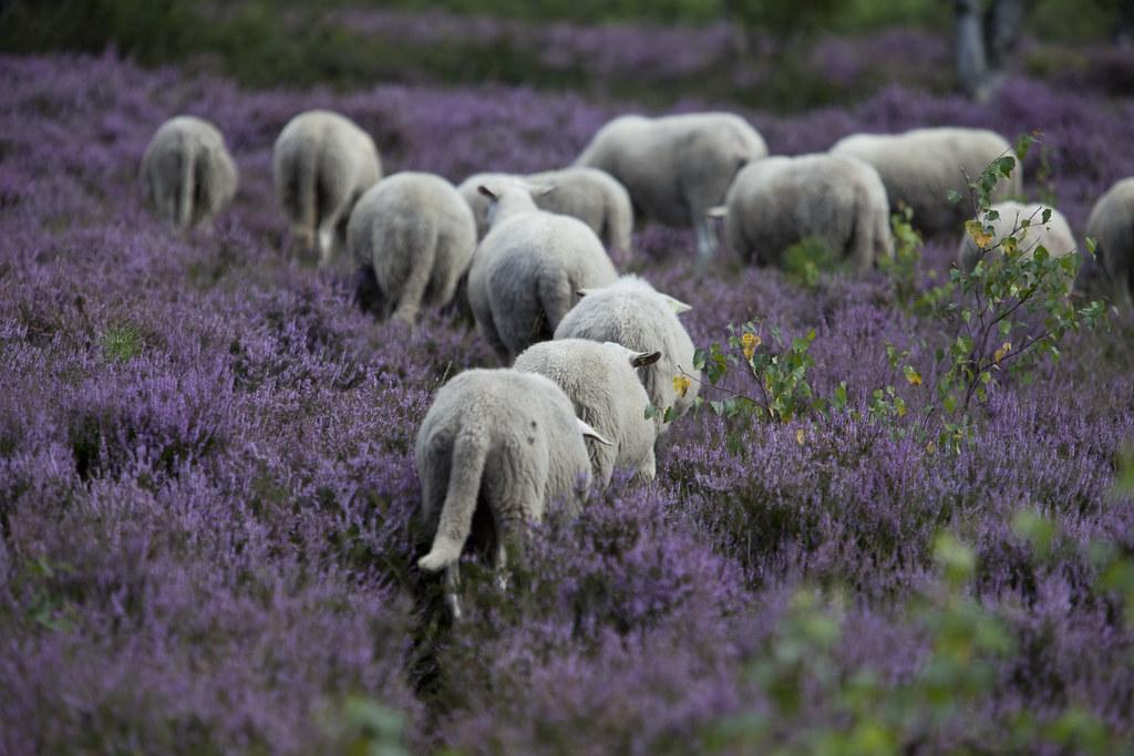 schapenpad (hoogmoet) Tags  den ymca heide schapen treek herder landgoed  kudde treekhenschoten treekerpunt 0b4ccd83604fc