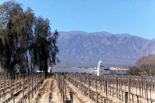 Torrontes vines near Salta