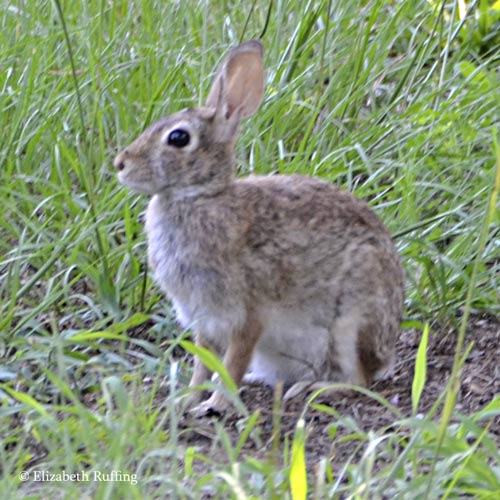 Wild rabbit in the grass