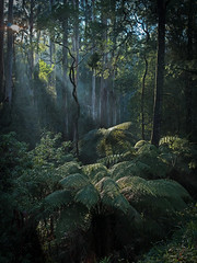 Morning (Ranga 1) Tags: morning green nature forest nikon rainforest australian australia melbourne victoria jungle rays ferns beams sunbeams treefern mountdandenong dandenongs kallista gumtrees davidyoung treeferns thedandenongs flickraward doublyniceshot doubleniceshot flickraward5 mygearandme ringexcellence