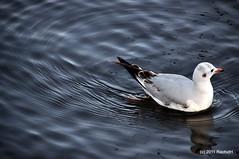 DSC_0295 (RachidH) Tags: birds oiseaux waders seabirds shorebirds blackheadedgull gulls chroicocephalusridibundus mouetterieuse winterplumage summerplumage safapark dubai park unitedarabemirates uae nature rachidh