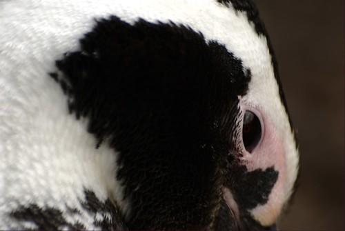 Closeup's penguin by Aztlek