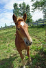 Thor The Youngest (Roofer 1) Tags: belgian colt workhorse