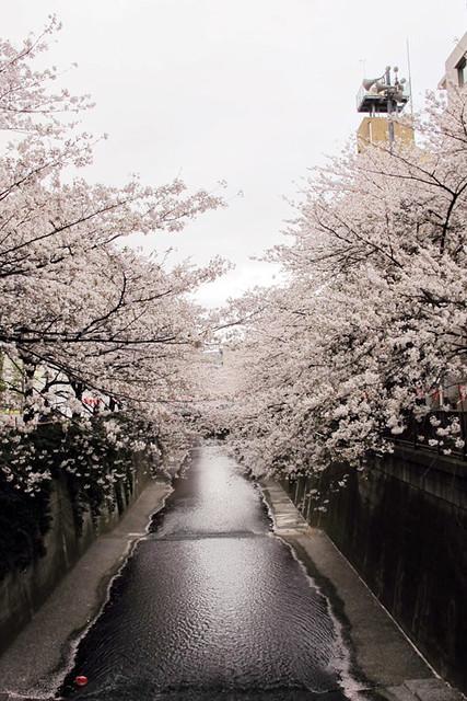 110409_161526_目黒川_桜