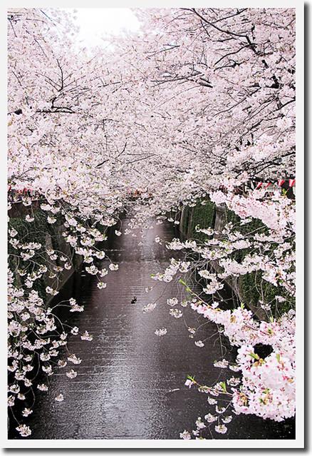 110409_170445_目黒川_桜_s