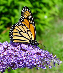 True Beauty (Krittergirl....sick...off for awhile.) Tags: flowers ngc butterflies npc monarchs butterflybush perennials monarchbutterflies mygardens